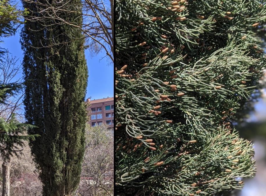 Alergia a polen de ciprés: un polen de invierno.